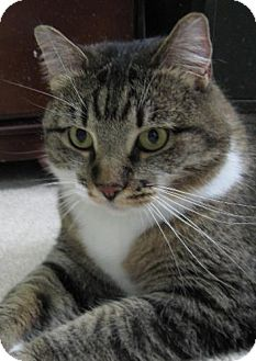 Domestic Mediumhair Cat for adoption in Des Moines, Iowa - Frenchie