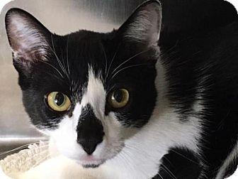 Domestic Shorthair Cat for adoption in Prescott, Arizona - Tux