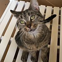 """Adopt A Pet :: Momma """"kitty"""" - Goshen, NY"""