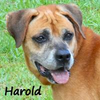 Adopt A Pet :: HAROLD - Palm Coast, FL