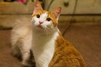 Domestic Shorthair Cat for adoption in Morgantown, West Virginia - Sherbet