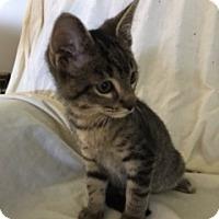 Adopt A Pet :: Simon - Sylvan Lake, MI
