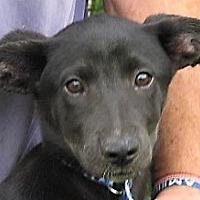 Adopt A Pet :: Phecda - Germantown, MD