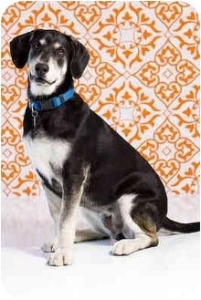 Basset Hound/German Shepherd Dog Mix Dog for adoption in Portland, Oregon - Vada