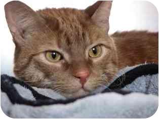 Domestic Shorthair Cat for adoption in Norwalk, Connecticut - Calvin