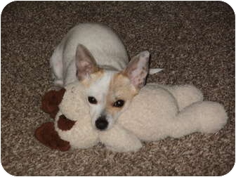 Chihuahua/Terrier (Unknown Type, Small) Mix Dog for adoption in Arlington, Texas - Peaches