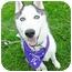 Photo 1 - Husky Puppy for adoption in Detroit, Michigan - Leo