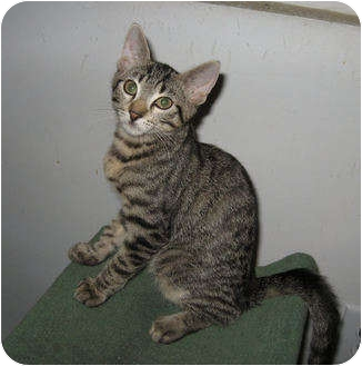 Domestic Shorthair Kitten for adoption in Colmar, Pennsylvania - Brook