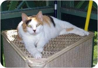 Domestic Shorthair Cat for adoption in Makawao, Hawaii - Honey Bunny