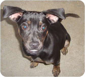 Pug Mix Puppy for adoption in Winter Haven, Florida - Tyson