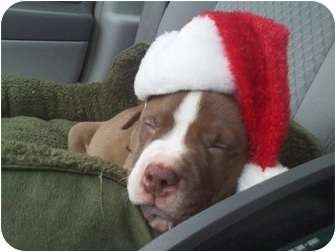 American Pit Bull Terrier Mix Puppy for adoption in White Settlement, Texas - Mini's2 - Tank-Adopt Pending