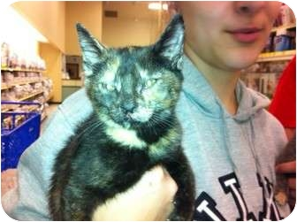Domestic Shorthair Kitten for adoption in Pittstown, New Jersey - Trouble