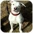 Photo 1 - American Bulldog/Terrier (Unknown Type, Medium) Mix Puppy for adoption in Milton, Massachusetts - Kali