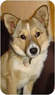 Corgi/Sheltie, Shetland Sheepdog Mix Puppy for adoption in Franklin, West Virginia - Jitterbug