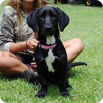 Basset Hound/Retriever (Unknown Type) Mix Dog for adoption in Inverness, Florida - ZOEY