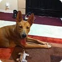 Adopt A Pet :: Nya - justin, TX