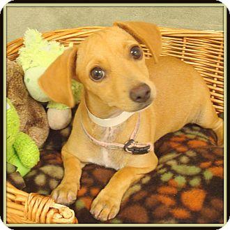 Dachshund Mix Dog for adoption in Glendale, Arizona - Sunny