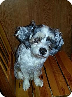 Shih Tzu Mix Dog for adoption in Spring City, Tennessee - Trixie