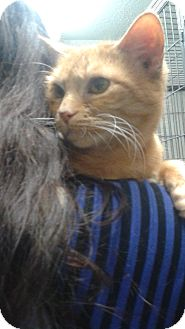Domestic Shorthair Cat for adoption in Bronx, New York - Ross