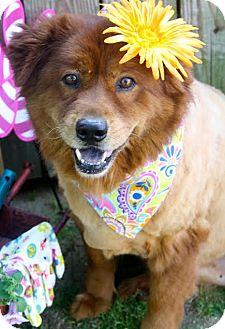Chow Chow Mix Dog for adoption in Darlington, South Carolina - Cinnamon