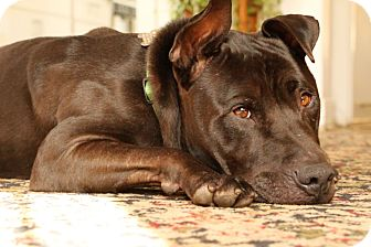 Labrador Retriever/American Staffordshire Terrier Mix Dog for adoption in Los Angeles, California - Bubba