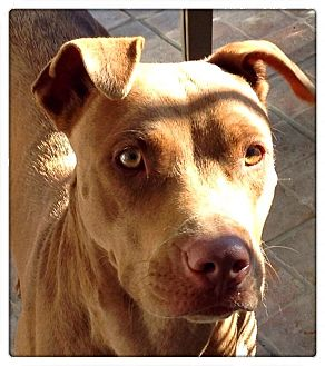 American Staffordshire Terrier/American Pit Bull Terrier Mix Dog for adoption in Santa Ana, California - Snickers