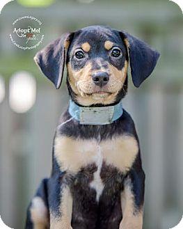 Labrador Retriever Mix Puppy for adoption in Cincinnati, Ohio - Meredith