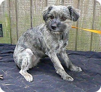 Schnauzer (Miniature) Mix Dog for adoption in Brattleboro, Vermont - ATHENA