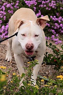 American Pit Bull Terrier Mix Dog for adoption in Las Vegas, Nevada - April