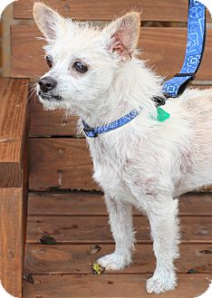 Westie, West Highland White Terrier/Cairn Terrier Mix Dog for adoption in College Station, Texas - Aikman