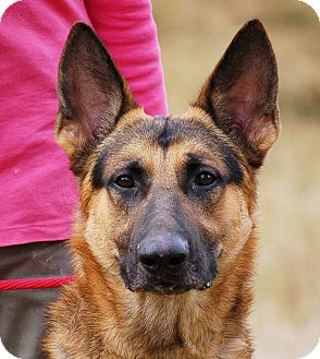 German Shepherd Dog Dog for adoption in Preston, Connecticut - Nick AD 01-09-16