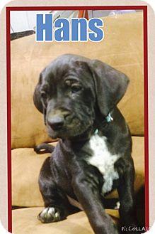 Boxer/Weimaraner Mix Puppy for adoption in Russellville, Kentucky - Hans
