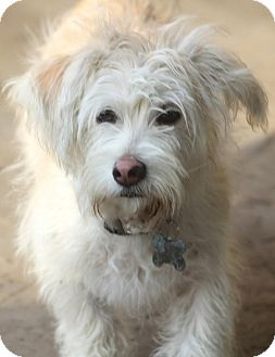 Westie, West Highland White Terrier/Maltese Mix Dog for adoption in Woonsocket, Rhode Island - Barnaby