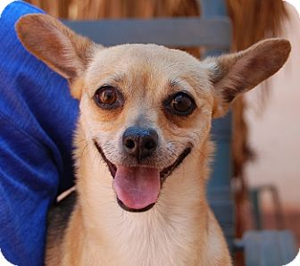 Chihuahua Mix Dog for adoption in Las Vegas, Nevada - Candi