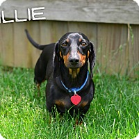 Adopt A Pet :: Willie - Georgetown, KY
