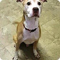 American Pit Bull Terrier Mix Dog for adoption in Chicago, Illinois - Todd 5