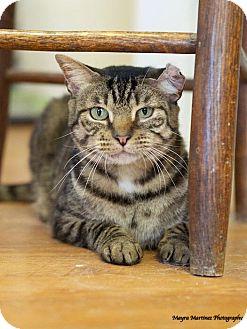 Domestic Shorthair Cat for adoption in Huntsville, Alabama - Captain Jack