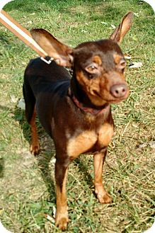 Miniature Pinscher/Chihuahua Mix Dog for adoption in Macomb, Illinois - Carmine