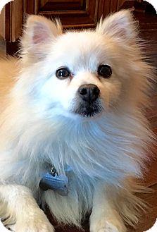 Pomeranian Dog for adoption in San Pedro, California - Dakota