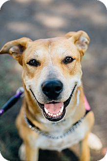 Labrador Retriever/Rhodesian Ridgeback Mix Dog for adoption in Los Angeles, California - Eloise