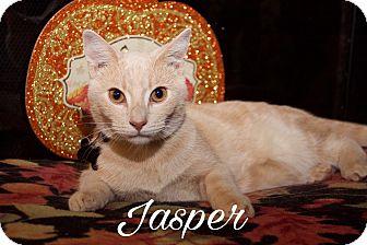 Domestic Shorthair Cat for adoption in Livonia, Michigan - Jasper