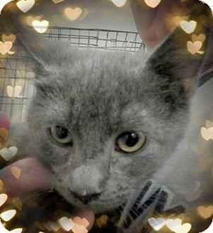 Domestic Shorthair Kitten for adoption in Trevose, Pennsylvania - Fab