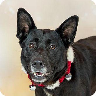 Shepherd (Unknown Type)/Labrador Retriever Mix Dog for adoption in Columbia, Illinois - Scarlet