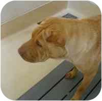 Shar Pei Dog for adoption in Houston, Texas - Rosie