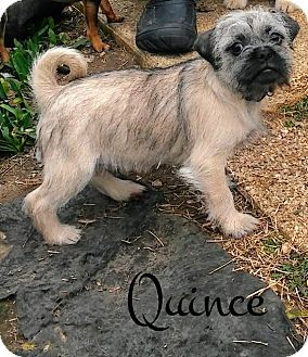 Pug/Shih Tzu Mix Puppy for adoption in House Springs, Missouri - Quince