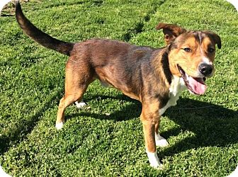 German Shepherd Dog/Boxer Mix Dog for adoption in Moody, Alabama - Nutty (Snickers)
