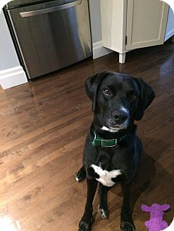 Labrador Retriever/Mixed Breed (Large) Mix Dog for adoption in Guelph, Ontario - JD *Adoption Pending*