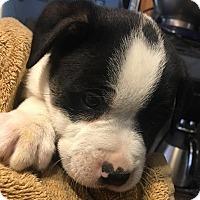 Adopt A Pet :: Rocky - Savannah, GA