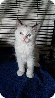 Domestic Mediumhair Kitten for adoption in Fenton, Missouri - Jolene