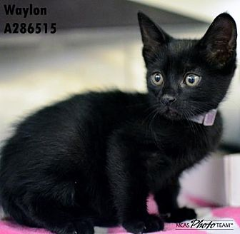Domestic Mediumhair Cat for adoption in Conroe, Texas - JECKLE